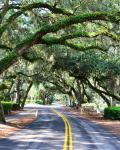 Hilton Head Islands klassiske oak trees
